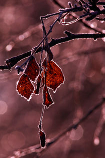 Red birch leaves-monochrome by Intensivelight Panorama-Edition