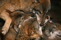 Wolf pack biting each others muzzles by Intensivelight Panorama-Edition