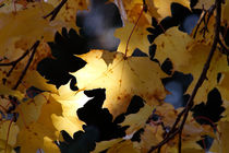 Yellow maple leaves in fall by Intensivelight Panorama-Edition