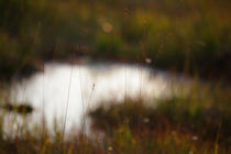 Grasses growing in a moor von Intensivelight Panorama-Edition