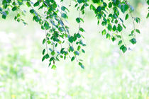 Birch leaves in summer by Intensivelight Panorama-Edition