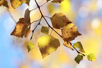 Autumn colored birch leaves by Intensivelight Panorama-Edition