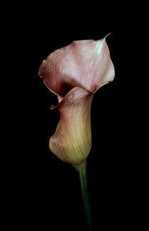 Calla lily von Leo Walton