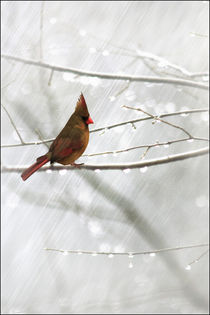 Cardinal-caught-in-the-rain
