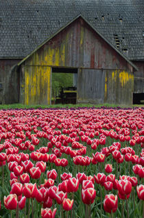 A tulip field in spring with an old barn in background in the Skagit Valley, Washington State, USA von Wolfgang Kaehler