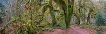Panorama photo (44 x 14 inches) of maple trees covered with mosses at the Hall of Mosses in the Hoh River rainforest, Olympic National Park, Washington State, United States von Wolfgang Kaehler