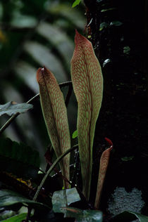 ECUADOR, AMAZON BASIN, RIO NAPO, RAINFOREST, LIVERWORTH by Wolfgang Kaehler