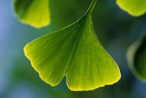 CHILE, SANTIAGO, CLOSE-UP OF GINGKO TREE LEAF von Wolfgang Kaehler