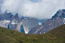 Guanaco (Lama guanicoe) herd with Paine Mountains in background in Torres del Paine National Park in Patagonia, Chile by Wolfgang Kaehler
