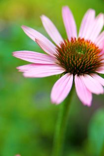 Echinacea purpurea by Harald Walker
