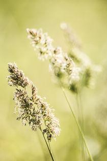 Blooming hays by Kristiina  Hillerström