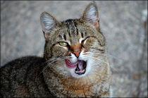 Licking Cat