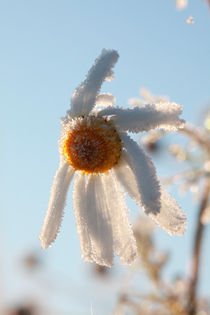 Hoarfrost-covered flower von Intensivelight Panorama-Edition