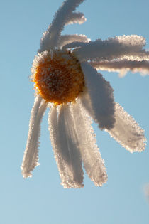 Frosty flower von Intensivelight Panorama-Edition