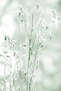 Frost covered flower by Intensivelight Panorama-Edition