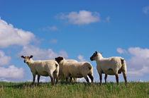 Die Schafe by AD DESIGN Photo + PhotoArt