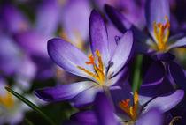 Purple Spring Crocus von Jacqi Elmslie