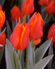 Tulpenblüten von lorenzo-fp