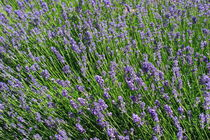 Flowering lavender by Intensivelight Panorama-Edition