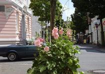 Rosa im Sommer von Marina von Ketteler