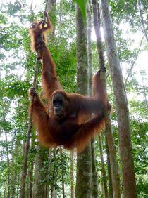 OrangUtan auf Sumatra by reisemonster