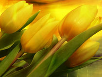 yellow tulips by Sibylle Schauer