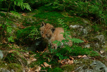 Playing lynx cub von Intensivelight Panorama-Edition