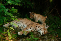 Lynx mother with her kitten by Intensivelight Panorama-Edition