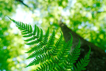 Spring fern and looming tree von Intensivelight Panorama-Edition