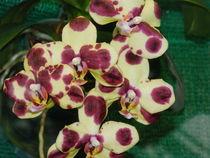 Sehr schöne Orchidee by Sven  Herkenrath