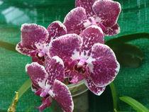 Exotische Orchidee by Sven  Herkenrath