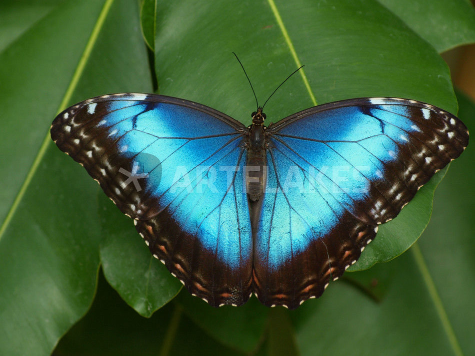 schmetterling himmelsfalter morpho peleides tropical blue butterfly common morpho. Black Bedroom Furniture Sets. Home Design Ideas