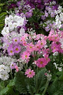 Blüten von Flieder-Primeln  von lorenzo-fp