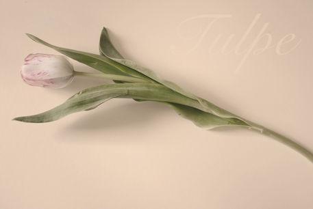 Dsc-tulpe-schrift-0013