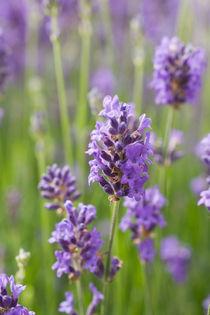 Lilac by bieberchen