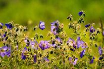 Wildblumen by bieberchen