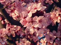 Spring Pink Flowers of almond-tree  by Tricia Rabanal