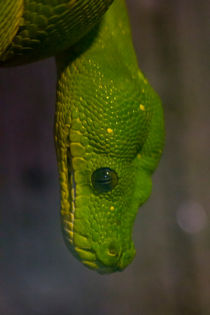 Green Tree Python by James Biggadike