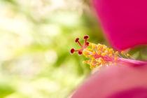 Pink Hibiscus by Kristiina  Hillerström