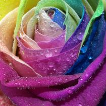 Bunte-rose3-049pe