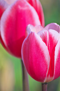 Pink Tulips II  von AD DESIGN Photo + PhotoArt