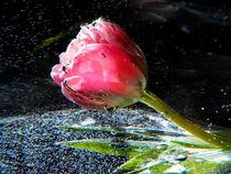 Tulpe Fantasie I von Carmen Steinschnack