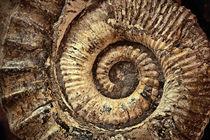ammonite  by dizdetcpizainy