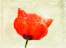 Lone-poppy