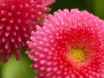 Farbenpracht - Die Blüten des Gänseblümchens Bellis perennis by Brigitte Deus-Neumann