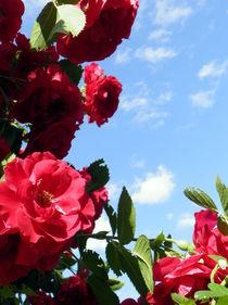 Rose, Kletterrose, Ranke by Carmen Steinschnack