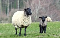 Ewe-look-sheepish