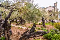 Olives Jerusalem-Garden of Gethsemane, Israel von Serhii Zhukovskyi