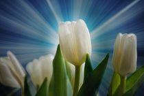 Weisse Tulpen von Elke Balzen
