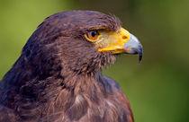 Harris' Hawk Portrait by Keld Bach
